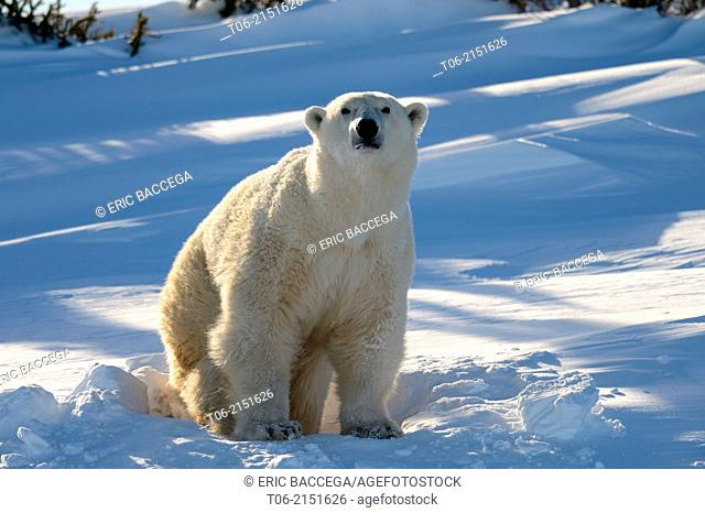 Polar bear (Ursus maritimus) female coming out the den in march. Wapusk National Park, Churchill, Manitoba, Canada