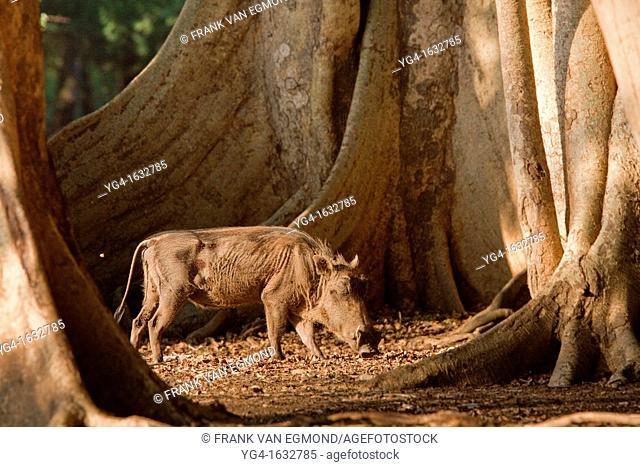 Warthog Phacochoerus africanus standing amount fig trees  Ndumo Game Reserve  Kwazulu-Natal, South Africa