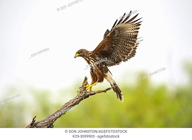 Harris' hawk (Parabuteo unicinctus), Santa Clara Ranch, Starr County, Texas, USA