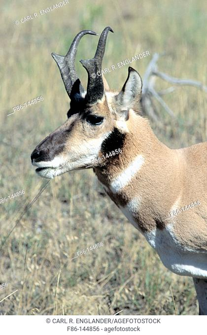 Adult male Pronghorn eating grasses. Antilocapra americana. Yellowstone National Park. Wyoming. USA