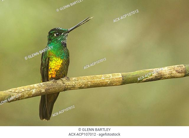 Golden-bellied Starfrontlet (Coeligena bonapartei) perched on a branch in the mountains of Colombia, South America