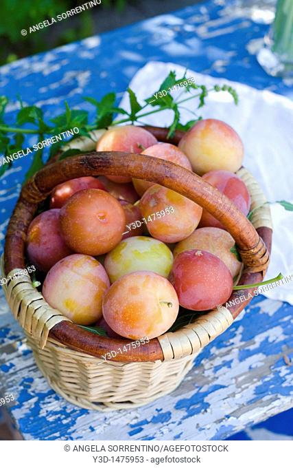 Country garden with Trug full of fresly picked plums,Campania, Italy