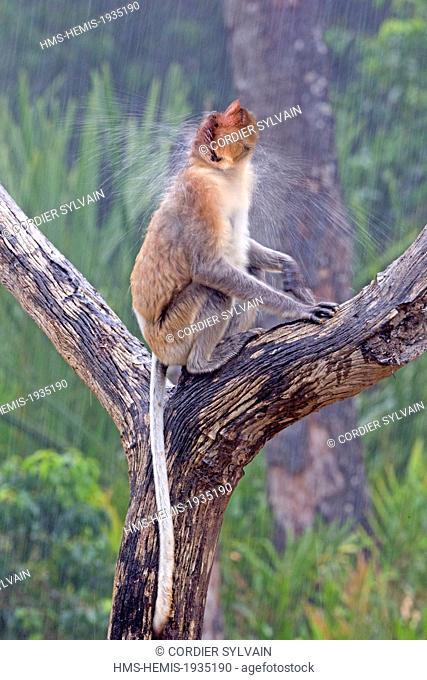 Malaysia, Sabah state, Labuk Bay, Proboscis monkey or long-nosed monkey (Nasalis larvatus), under the rain