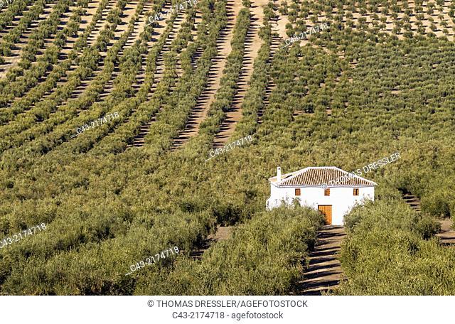 Cultivated olive trees (Olea europaea) and farmhouse. Córdoba province, Andalusia, Spain