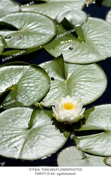 Water lily, White water lily,Nymphaea alba, Single flower growing outdoor on water