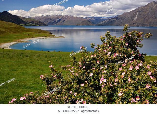 New Zealand, South-island, Central Otago, lake Hawea shrub wild-rose Rosa Rubiginosa pink in blossom, landscape, deserted, nature, vegetation, botany, plants
