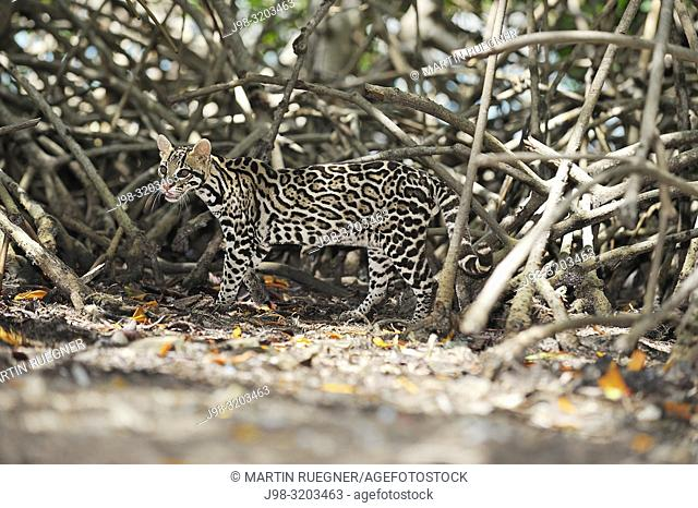 Ocelot (Leopardus pardalis), endangered species in mangrove forest. Roatan, Bay Islands Honduras, Central America, Latin America
