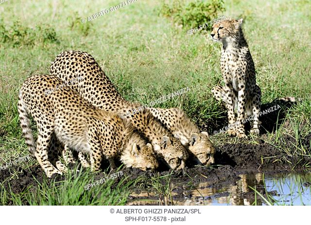 Three cheetah cubs and their mother deinking at the water hole. Serengeti, Tanzania