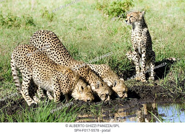 Three cheetah cubs and their mother deinking at the water hole. Serengeti, Tanzania