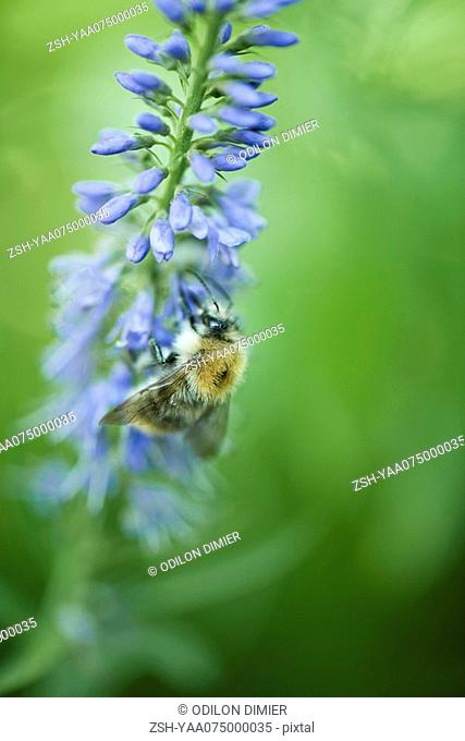 European dark bee apis mellifera mellifera gathering pollen from blue flower