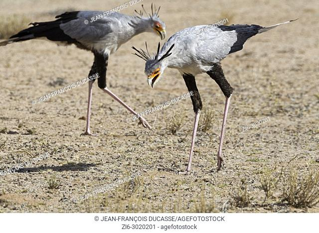 Secretary birds (Sagittarius serpentarius), adults, looking for prey, concentrated, Kgalagadi Transfrontier Park, Northern Cape, South Africa, Africa