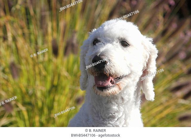 Goldendoodle (Canis lupus f. familiaris), six years old she dog, portrait, Germany