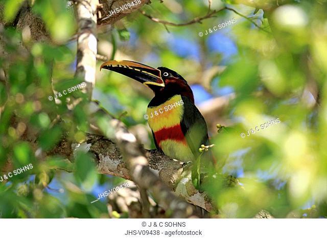 Chestnut-Eared Aracari, (Pteroglossus castanotis), adult on tree, Pantanal, Mato Grosso, Brazil, South America