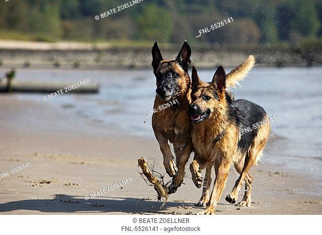 Alsatian and belgian dog, Malinois, Elbe, Hamburg, Germany, Europe