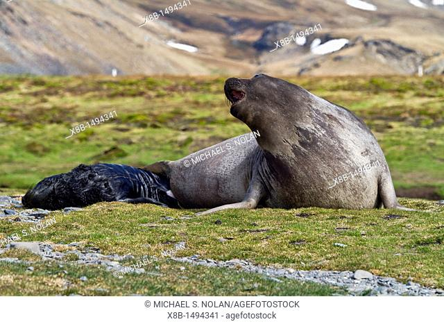 Pregnant female southern elephant seal Mirounga leonina giving birth on the beach near the abandoned whaling station at Stromness Bay on South Georgia Island in...
