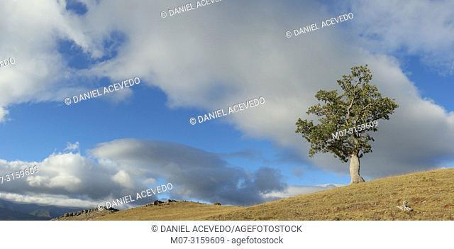 Ancient oak trees, Najerilla Valley, Rioja Region, Spain