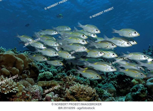 Swarm of Striped Large-eye Bream (Gnathodentex aureolineatus) swimming over a coral reef, Great Barrier Reef, UNESCO World Natural Heritage Site, Pacific Ocean