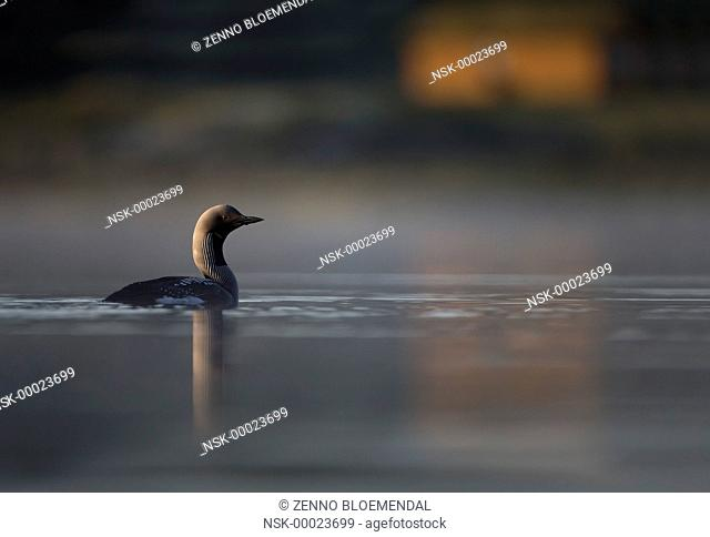 Black-throated Diver (Gavia arctica) adult, swimming on lake habitat, with house on shore, Norway, Sor-Trondelag