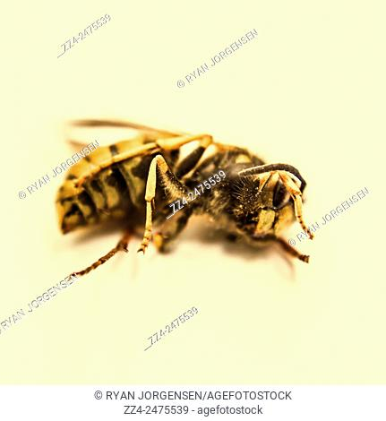 Macro still image of a dead bee lying side on in full length on light yellow background. Bee Deaths