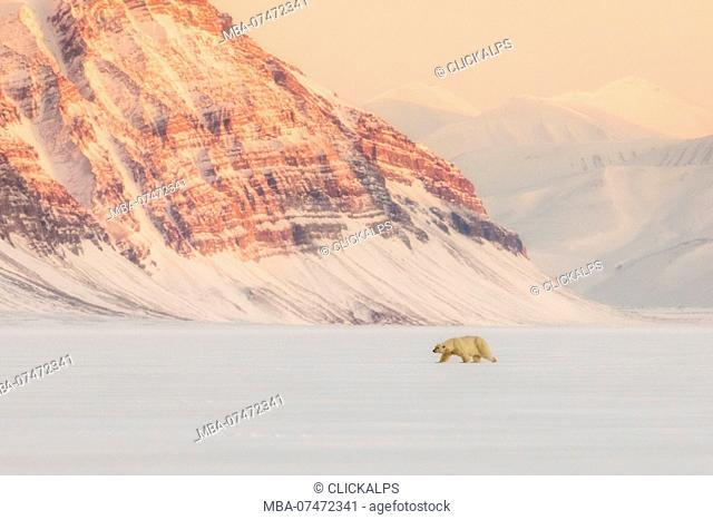 Polar bear, ursus maritimus, in Billefjorden, near Pyramiden, in western Spitsbergen Island, Svalbard