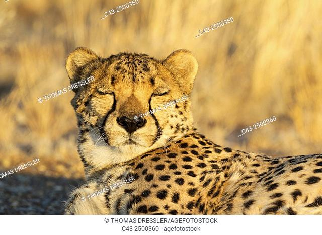 Cheetah (Acinonyx jubatus) - Tired male, resting in the evening. Photographed in captivity on a farm. Namibia
