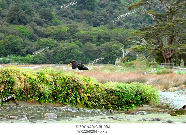 Oystercatcher searching for food in Fiordland National Park