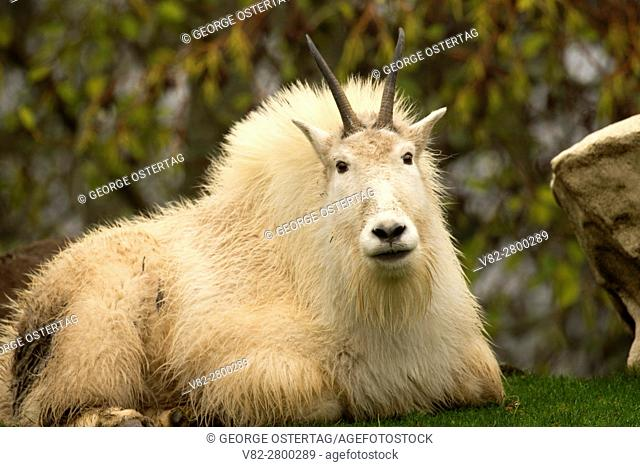 Mountain goat (Oreamnos americanus), Oregon Zoo, Washington Park, Portland, Oregon