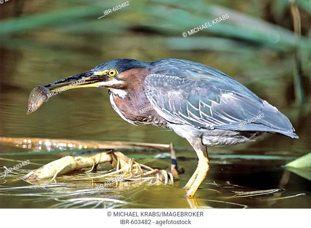 Green Heron (Butorides virescens) with Fish, Everglades NP, USA