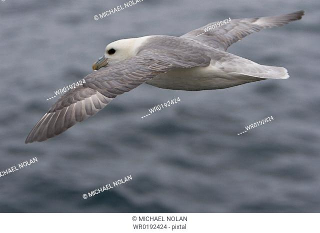 Northern fulmar Fulmarus glacialis on the wing in the Barents Sea south of Bear Island BjØrnØya just off the continental shelf