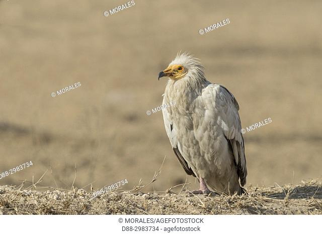 Asia, India, Rajasthan, Bikaner, Egyptian vulture (Neophron percnopterus), also called the white scavenger vulture or pharaoh's chicken, on the ground