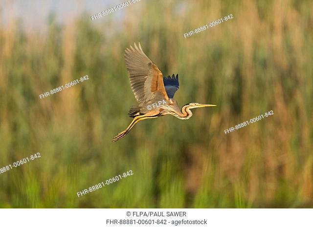 Purple Heron (Ardea purpurea) adult, flying over marshland, Danube Delta, Romania, June