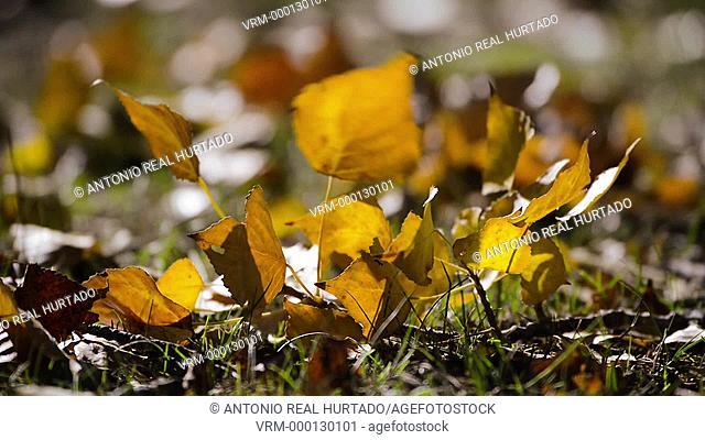Poplar leaves. Higueruela. Albacete province. Spain