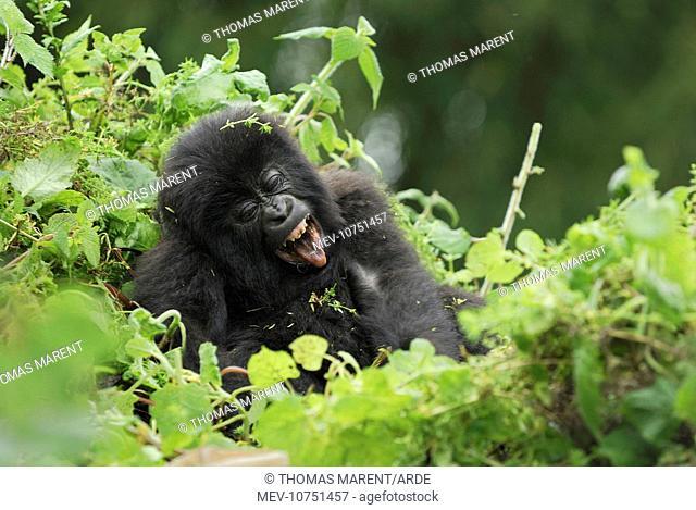 Mountain Gorilla - baby (Gorilla beringei beringei)