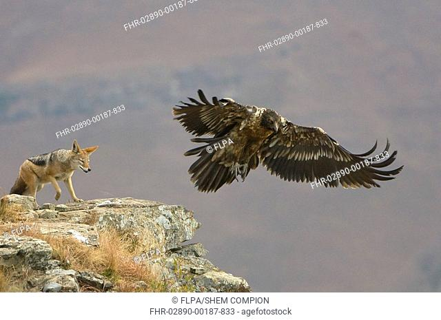 Lammergeier Gypaetus barbatus juvenile, in flight, chased by Black-backed Jackal, Giant's Castle, Drakensberg Mts , South Africa, winter