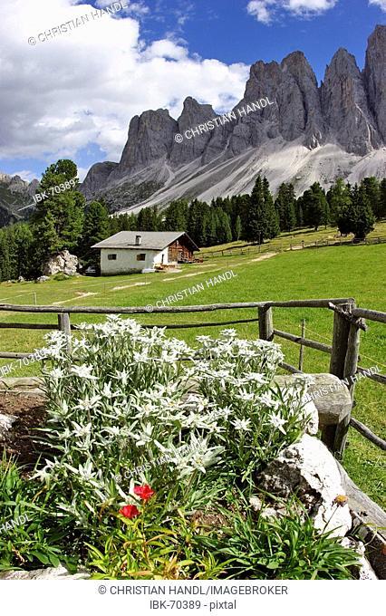 View from the Glatsch alp over Eldelweiß flowers Leontopodium alpinum to the Geisler mountain range South Tyrol Italy