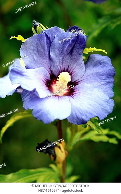 Hibiscus syriacus althea or marshmallow or purple tree or tree or shrub Ketner gardens of hibiscus genus of the family Malvaceae