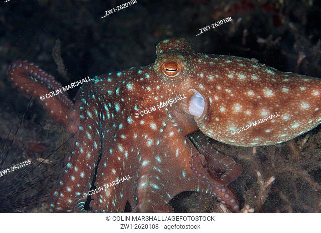 Starry Night Octopus (Callistoctopus luteus) hunting during night dive, Retak Larry dive site, Lembeh Straits, Sulawesi, Indonesia