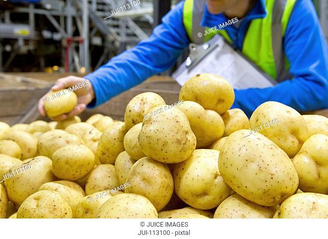 Close up worker examining fresh harvested potatoes