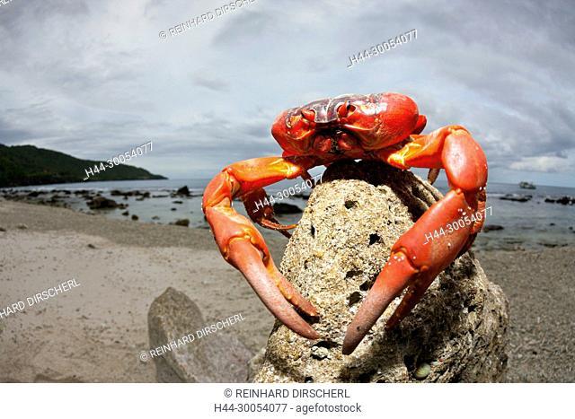 Christmas Island Red Crab at Ethel Beach, Gecarcoidea natalis, Christmas Island, Australia