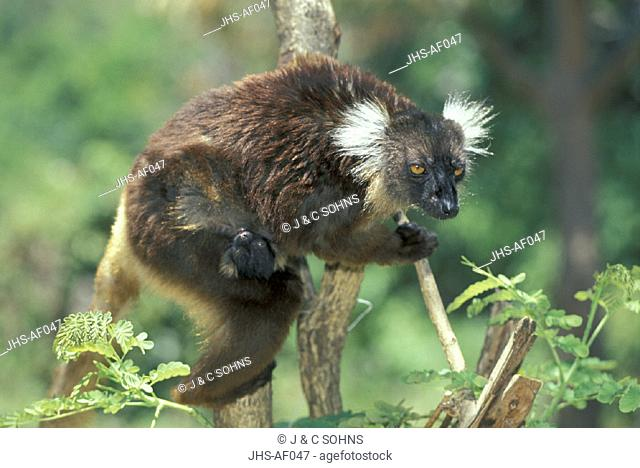 Black Lemur , Lemur macaco , Nosy Komba , Madagascar , Africa , Adult with young , with baby