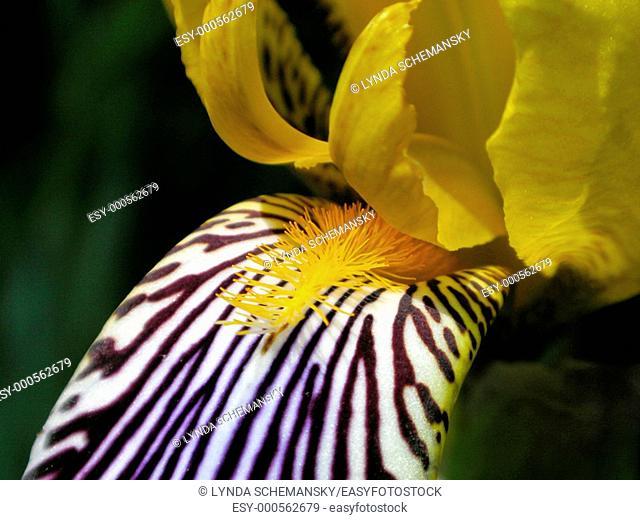 Iris flower detail