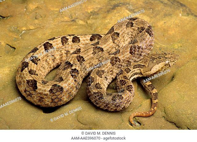 Hump-nosed Pit Viper (Hypnale hypnale), Sri Lanka