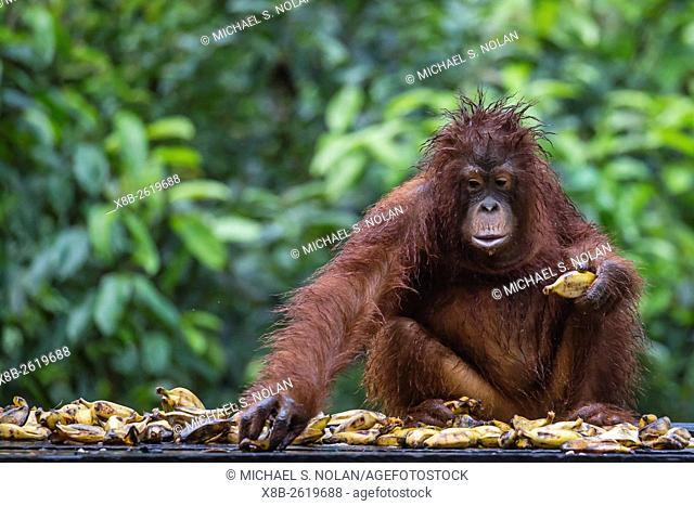 Reintroduced adolescent orangutan, Pongo pygmaeus, Camp Leakey, Tanjung Puting National Park, Borneo, Indonesia