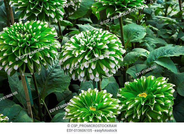 Green small dahlia flowers