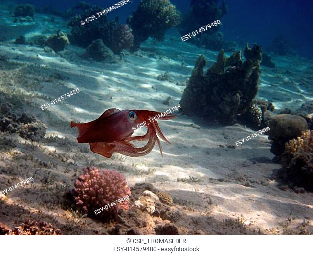 reef squid in the red