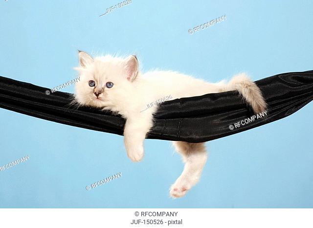 Sacred cat of Burma - kitten lying in hammock