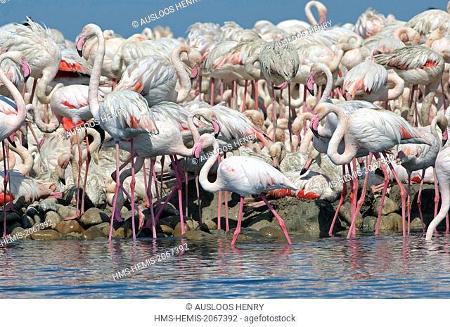 France, Camargue, Great Flamingo (Phoenicopterus roseus), colony Fangassier