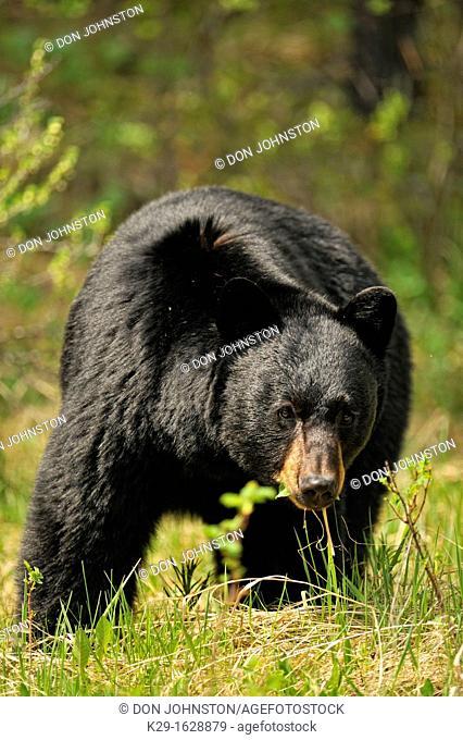 American Black bear Ursus americanus Roadside specimen in spring