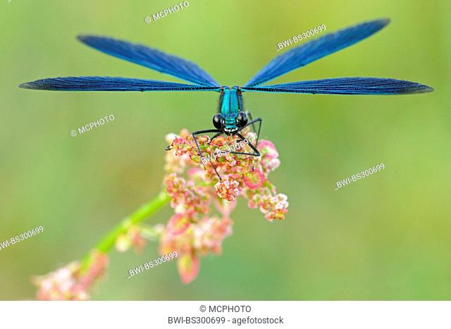 bluewing, demoiselle agrion (Calopteryx virgo), sitting at common sorrel, Germany