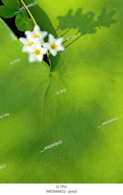 Water Snowflake, Indian Floatingheart, aquatic plant, Taiwan, East Asia